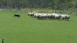 北海道恵庭市のえこりん村での牧羊犬の実演です。この牧羊犬はニュージ...