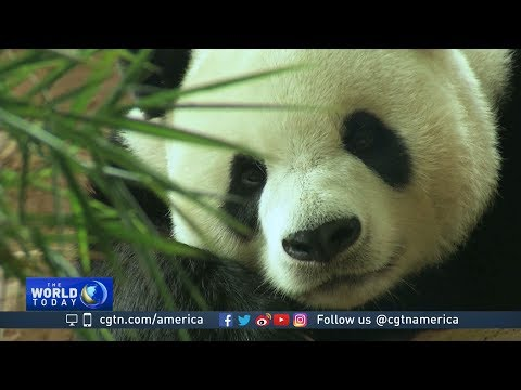 Panda sanctuary opens near Indonesian capital Jakarta