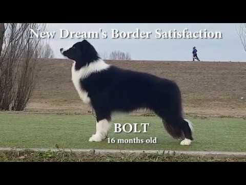 New Dream's Border Satisfaction 'BOLT' | Border Collie- Tricks, Agility, Obedience, Show