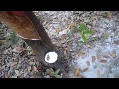 การทำยางก้นถ้วย/ ขี้ยาง / thai rubber
