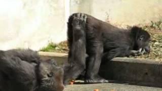 東山動物園で、ゴリラの愛撫を撮影(PowerShotS3ISで撮影)