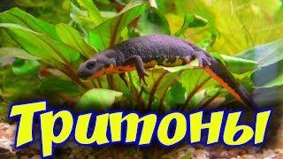 Тритоны аквариумные! Условия содержания, кормления, совместимость с рыбками в аквариуме!