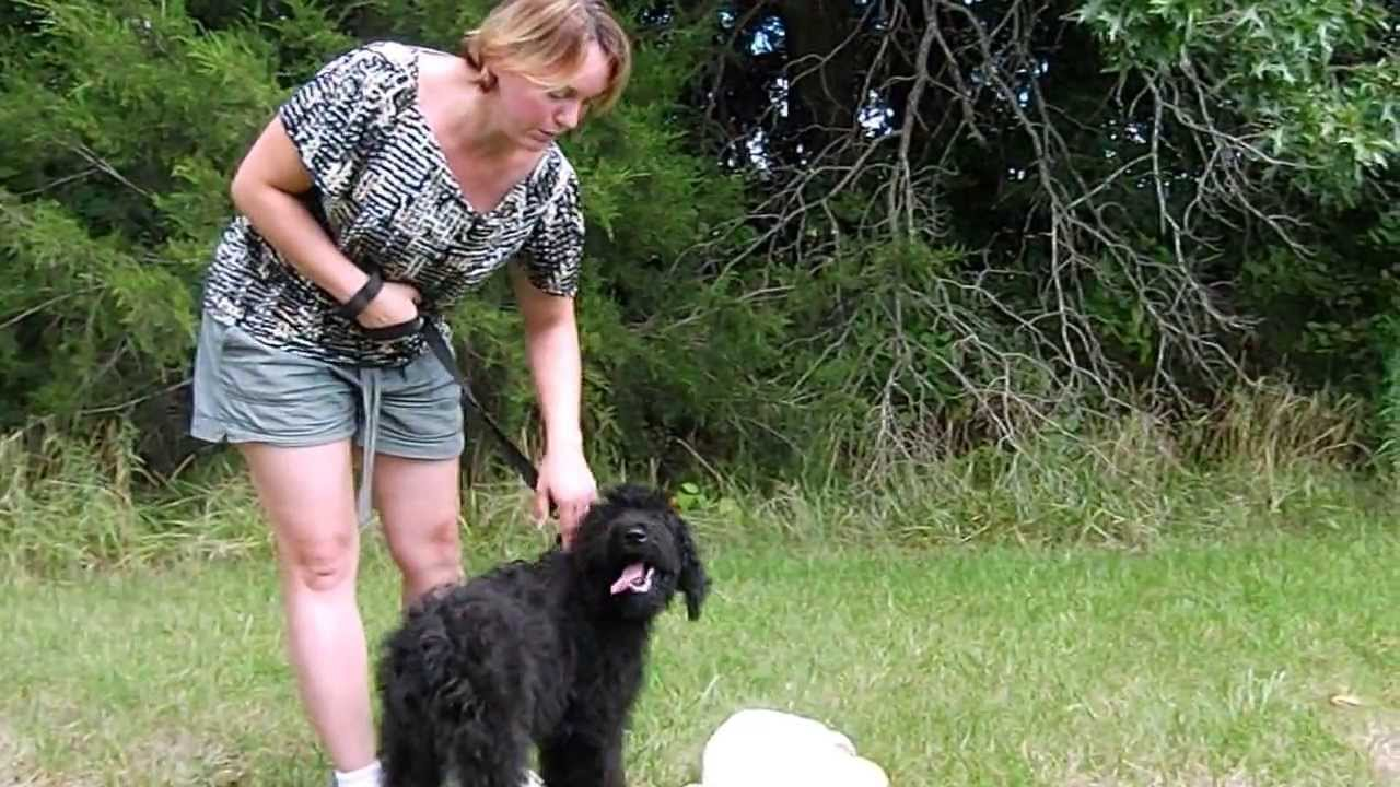 Angus Black Male Giant Schnoodle Puppy Youtube