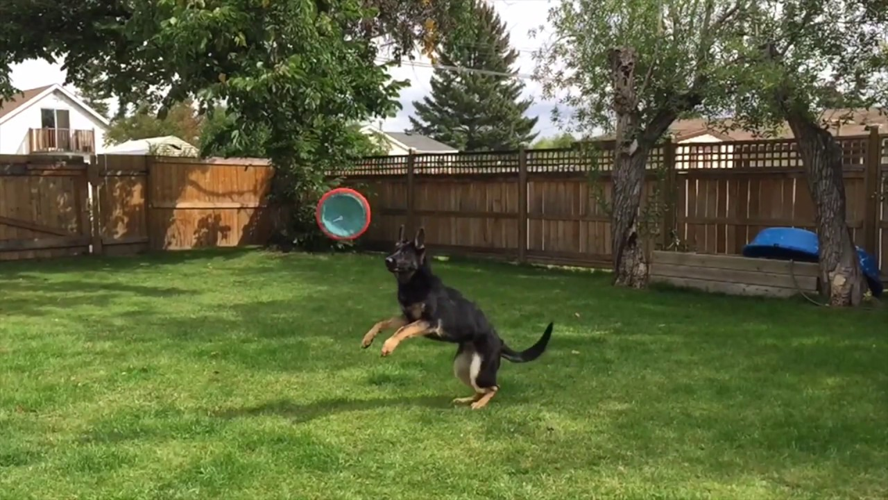 Training A German Shepherd Puppy To Fetch And Catch A Frisbee!