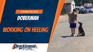 Olk9: So Easy, Even Your Kids Can Do It! 5-month Old Doberman Working On Heeling!