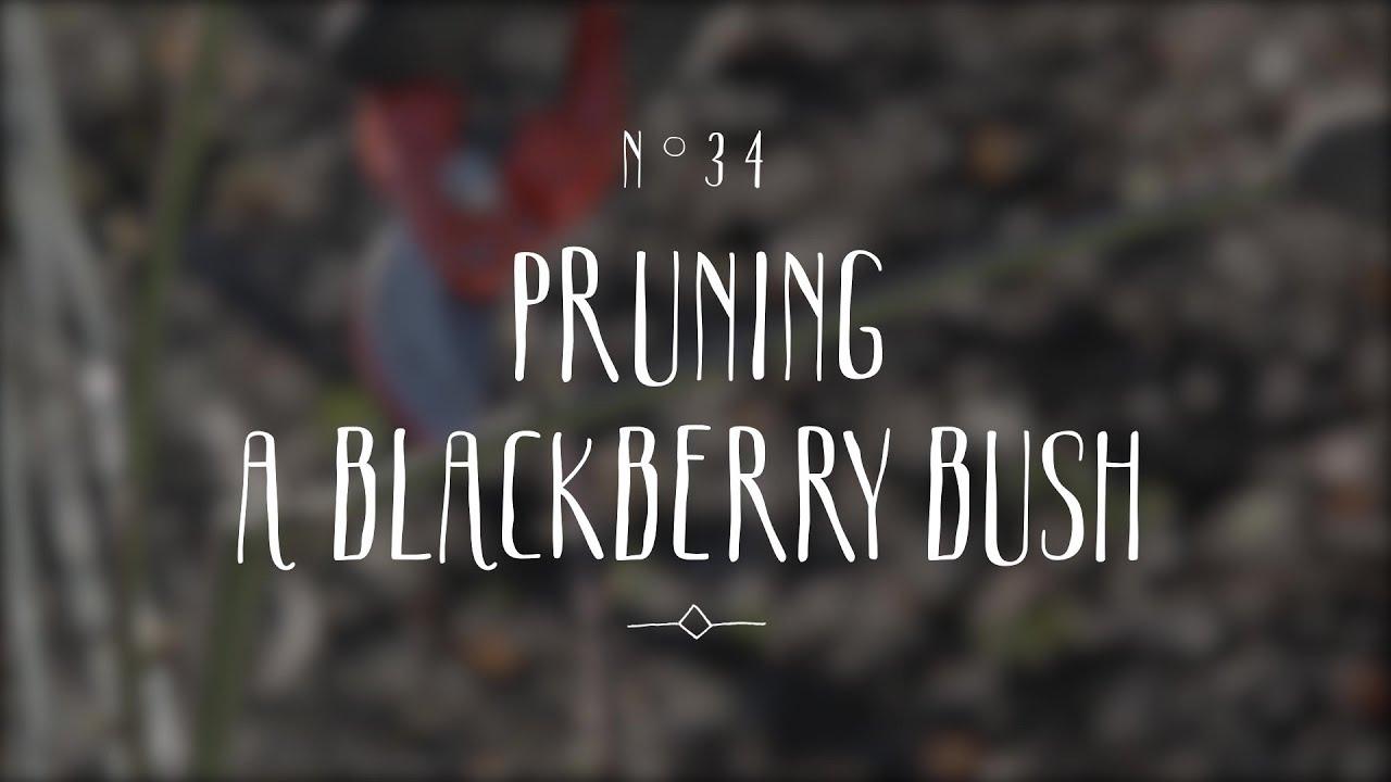 Pruning Blackberry Plants