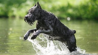 GIANT SCHNAUZER! TOP 10 FACTS ABOUT THE GIANT SCHNAUZER!