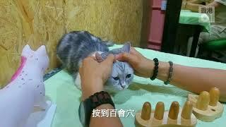 【寵物按摩一】貓主子有壓力 獸醫教按寧神穴位舒壓│01寵物