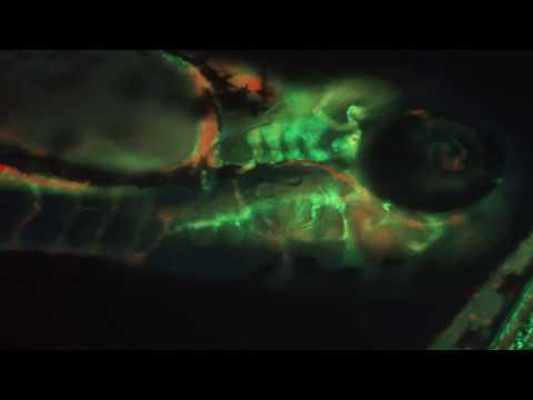 Zebrafish Fluorescence