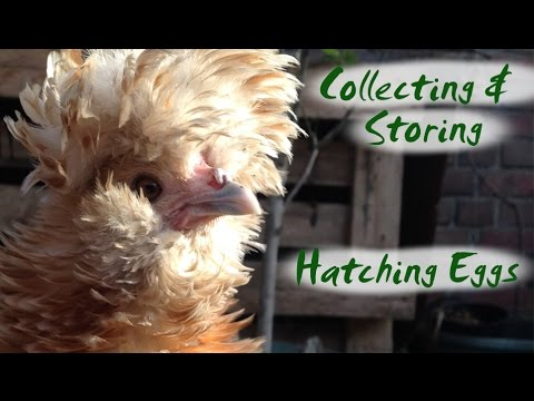 Silkie Chicken Eggs | Collecting and Storing Hatching Eggs