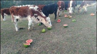 Les vaches de cet éleveur australien ont un régime qui fait rêver