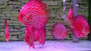 Red map discus @ chai discus farm
