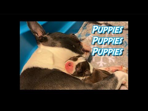Puppies Puppies Puppies!! Boston Terrier Puppies!
