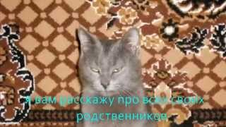 кошки породы Шартрез