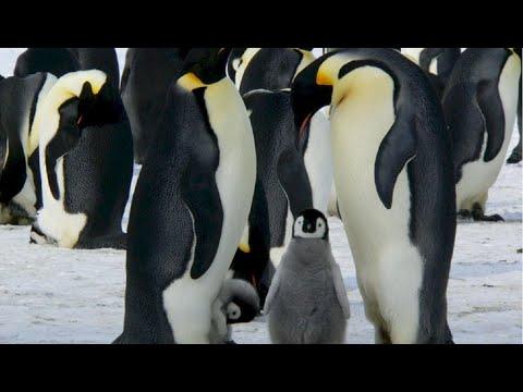 Download De ce la Polul Nord nu sunt pinguini? Unde trăiesc pinguinii?
