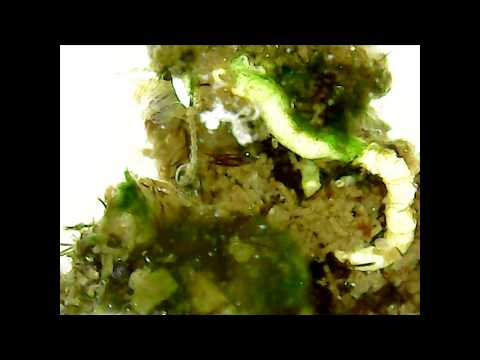 Microscopic view of canal algae