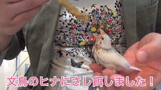 文鳥のヒナにさし餌しました! thumbnail