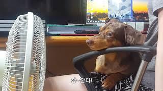 [닥스훈트] 더운 날을…