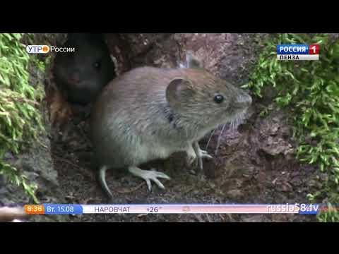 Как заражаются мышиной лихорадкой