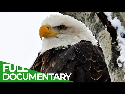 Eagles: the kings of the sky | free documentary nature mp3