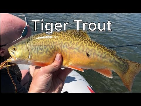Tiger Trout Fishing Stocked Lake - Saskatchewan