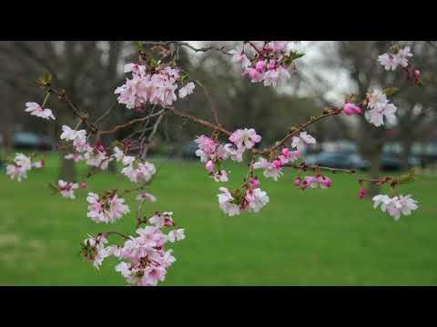 Cherry Blossom 2018 Washington D.C