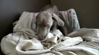 Our Weimaraner - Getting Comfy Is Hard Work!