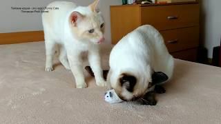 Тайский котик Калиостро увлёкся игрушечной мышкой, а тайский кот Дориан ревнует! Тайские кошки - это