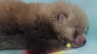 Панда Родила Видео. Красная Панда родила в Институте Охраны Природы США(Панда Родила Видео. Красная Панда родила в Институте Охраны Природы США., 2016-06-14T10:28:48.000Z)