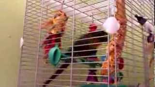 My brothers bird dancing to music animals