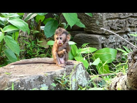 Newborn baby monkey very hungry because of loss mom, Pity baby monkey Donny