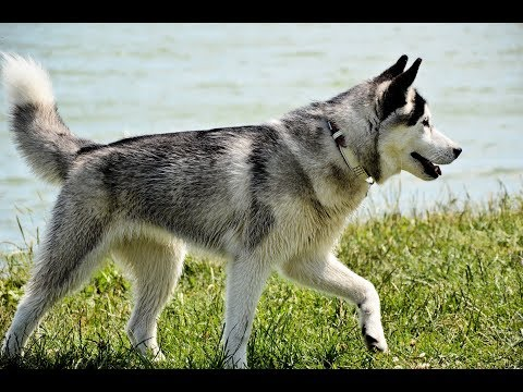 Northern Inuit /Dog Breed
