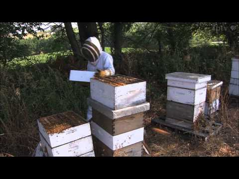 Honeybees Endure Sting of Colony Collapse Disorder