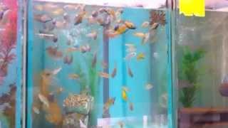 Tonys African Cichlids Fish Room Tour Nov 2014