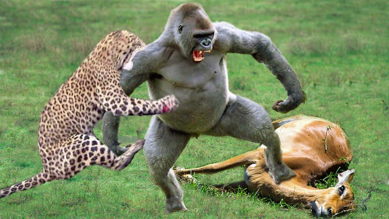 Gorillas Really Want To Rescue The Impala From Leopard Hunting? Leopard vs Baboon vs Impala