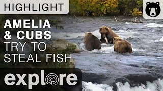 Amelia and Cubs Try To Steal Fish - Katmai National Park - Live Cam Highlight