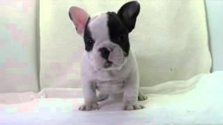 専門ブリーダーの子犬動画です.