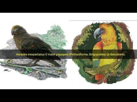 Heracles Inexpectatus O Maior Papagaio Psittaciforme