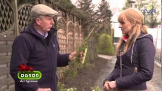Ogród bez tajemnic ,,Jak sadzić powojniki''