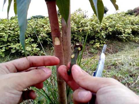 การเสียบยอดมะม่วงทาบกิ่งมะม่วง C.1 (ยอดมะม่วงยักษ์มัน ต้นมะม่วงป่า)