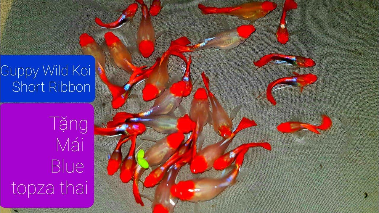 Guppy Wild Koi Short Ribbon - Cá bảy màu koi đỏ mắt đen [DiamondDa