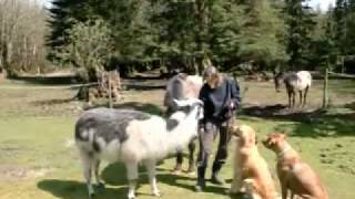 Seattle Dog Training Around Horses And Llamas With Cindy Hi