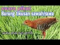 Suara Pikat Burung Tikusan Sintaran Sawah Dan Rawa Cocok Buat Pikat  Mp3 - Mp4 Download