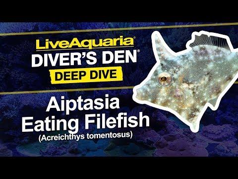 LiveAquaria® Diver's Den® Deep Dive: Aiptasia Eating Filefish (Acreichthys Tomentosus)