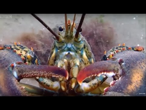 Breeding Lobsters at war! - Blue Planet: A Natural History of the Oceans - BBC