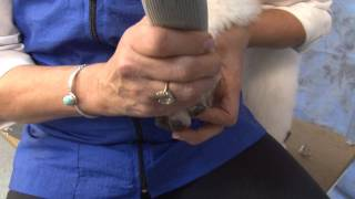 Prep Work On A Poodle - Face, Feet, Tail, Ears & Nails With Judy Hudson Ncmg