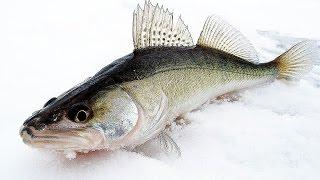 ХУДШАЯ погода для зимней рыбалки.  Ловля судака зимой на водохранилище 2017(Подпишись на Life канал: https://www.youtube.com/c/veternsk Группа ВК: https://vk.com/hapokru Отчет о рыбалке на судака в плохую погоду...., 2017-01-22T19:22:22.000Z)