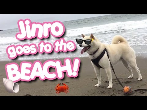 Cream Shiba Inu - Jinro goes to the beach