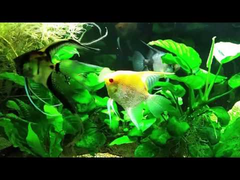 Aggressive Angelfish Moved To A New Tank