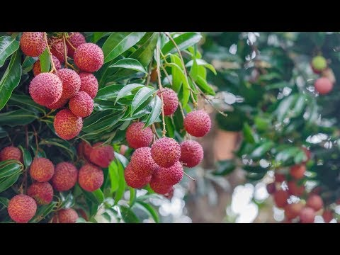 Fruits and Diabetes | Miracle Fruit for Diabetes
